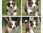 狗年特惠 智商第一帅气边牧犬 全国包邮签协议售保送大礼包