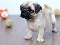 武汉出售纯种巴哥幼犬 哈巴狗幼犬 小型犬巴哥 虎头巴哥宠