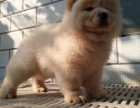 重庆哪里卖松狮犬 重庆白色松狮 黄色松狮 黑色松狮价格