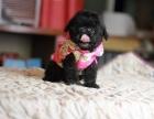 西宁纯种泰迪价格 西宁哪里能买到纯种泰迪犬