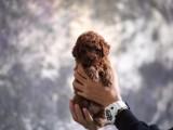 芜湖哪里有宠物狗卖泰迪犬韩系娃娃脸泰迪犬口袋茶杯泰迪熊狗