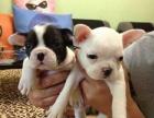 精品宠物繁殖基地长期出售斗牛幼犬 保证品质健康