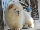 上海松狮幼犬多少钱一只 上海哪里有卖松狮 松狮价格