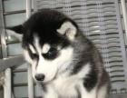 聪明的小哈士奇幼犬是非常可爱 小狗狗从小就是很粘人