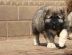 高加索幼犬多少钱.专业繁殖基地 品质有保障
