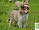 苏格兰牧羊犬幼犬,苏格兰牧羊犬多少钱一只