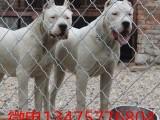 90天纯杜高犬多少钱一只 现在杜高犬价格图片
