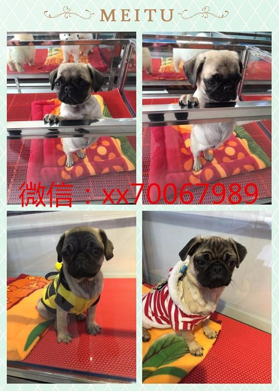 北京犬舍直销,金毛等各类宠物狗一只也是批发价