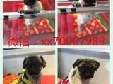 北京出售宠物狗狗各类名犬 支持上门看狗加微信有折扣