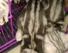 孟加拉豹猫三个月出售