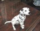 郑州哪有斑点狗卖 郑州斑点狗价格 郑州斑点狗多少钱