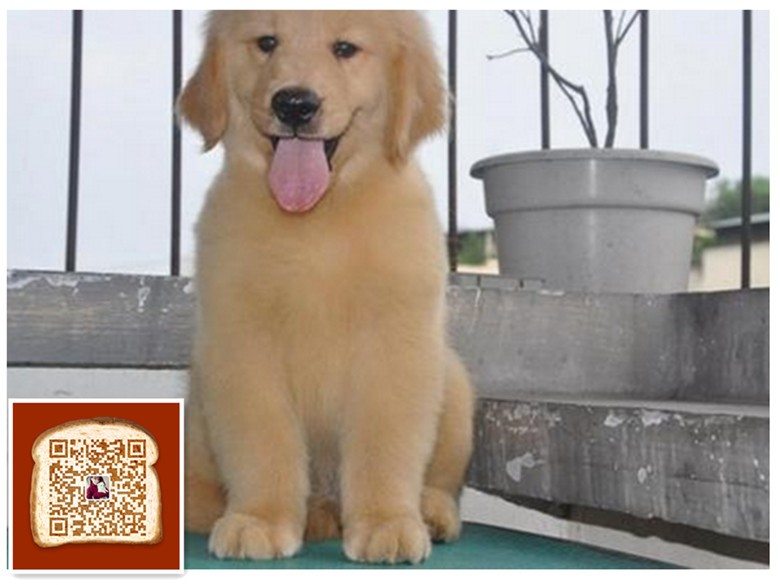 武汉出售纯种赛级的金毛 骨架大毛量足 包健康