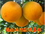 正宗赣南脐橙苗 血橙苗 纽荷尔脐橙苗果苗批发