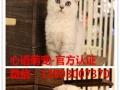 出售越长大越高贵漂亮的纯种布偶猫重点色山猫布偶