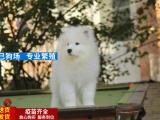 出售微笑天使萨摩耶犬赛级犬后代保健康可上门