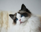 60SCAS品相超好超萌 英短蓝猫/英国短毛猫