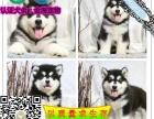 专业繁殖雪橇犬丨熊版阿拉斯加丨现场协议保健康