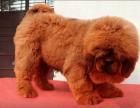 藏獒野性十足霸气冲天极品长毛狮头藏獒幼犬出售
