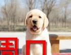 周口本地狗场拉布拉多导盲犬销售,本地狗场几十个品种