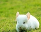 出售转让自己家繁殖各种颜色龙猫,活泼可爱温顺的小动物