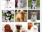 出售柯基 斗牛 阿拉斯加 拉多 博美等30个品种犬