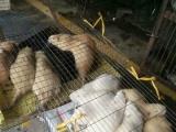 海狸鼠 刺猬长期批发