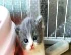猫叔猫舍自家繁育纯种英短蓝白价格便宜签协议包健康