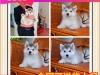自家犬舍繁殖的雪橇犬