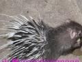 刺猬可食用可药材可观赏价值丰富加盟 种植养殖