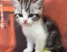 自家繁殖高品质CFA纯种 美国短毛猫 超级纯的小包子