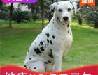 本地出售纯种斑点幼犬,十年信誉有保障