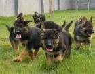 北京最大狗场 特价直销世界名犬 德国牧羊犬等品种三百起