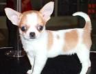 上海哪里有吉娃娃犬卖 泰迪金毛哈士奇秋田博美阿拉多少钱价格