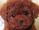 乌鲁木齐哪里有出售灰色泰迪 小体灰色泰迪多少钱一只