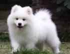 买狗找我 张家口哪里有卖纯种萨摩耶,萨摩耶多少钱?