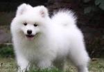 买狗找我 成都哪里有卖纯种萨摩耶,萨摩耶多少钱