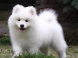 買狗找我 保亭哪里有賣純種薩摩耶,薩摩耶多少錢