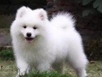 买狗找我 自贡哪里有卖纯种萨摩耶,萨摩耶多少钱
