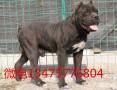 纯种卡斯罗犬幼犬价格图片 现在三个月的卡斯罗犬多少钱一只