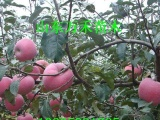 中秋王苹果苗 矮化苹果苗  苹果树苗新品种基地 优质低价苗木