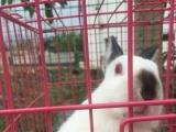 喜马拉雅侏儒兔和垂耳兔