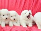 深圳狗狗之家长期出售高品质 萨摩耶 售后无忧