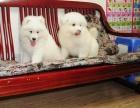 纯种健康萨摩耶幼犬出售 可见幼犬父母 签署保证协议