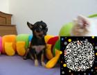 狗场长期出售纯种超小吉娃娃颜色齐全保证纯种健康