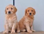 北京出售 金毛幼犬 纯种健康保障 疫苗驱虫已做 签协议