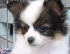 最正规蝴蝶犬 完美售后 质量三包 可送货上 送用品
