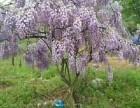 庭院绿化 草坪果树 黄杨 冬青 月季 葡萄架