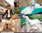厦门高品质赛级血统阿富汗猎犬幼犬出售 稀有多米诺色