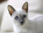 蓝重点色暹罗猫妹妹出售