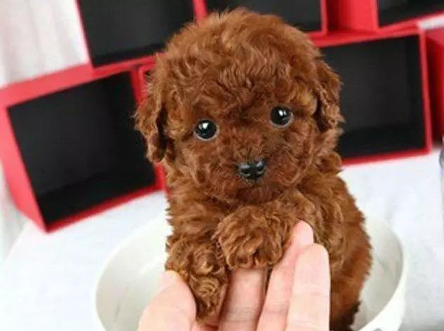 茶杯泰迪 迷你泰迪 玩具泰迪 泰迪犬图片